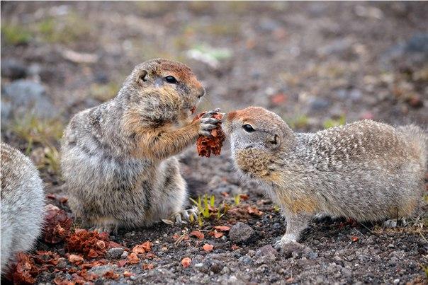 «Щедрость». Берингийские суслики или евражки. Автор фото — Елена Ненашева: nat-geo.ru/photo/user/223481/