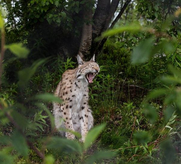 Рысь. Автор фото — Андрей Корабельников