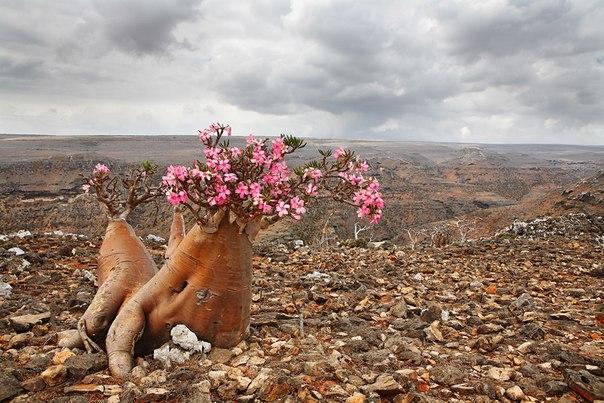 Карстовое плато острова Сокотра, Йемен. Автор фото — Владимир Мельник, участник фотоконкурса «Удивительный мир флоры»: nat-geo.ru/~ClarinsPlanet