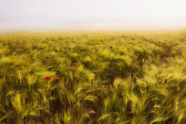 Ржаное поле. Автор фото — Дмитрий Архипов: nat-geo.ru/photo/user/256681/