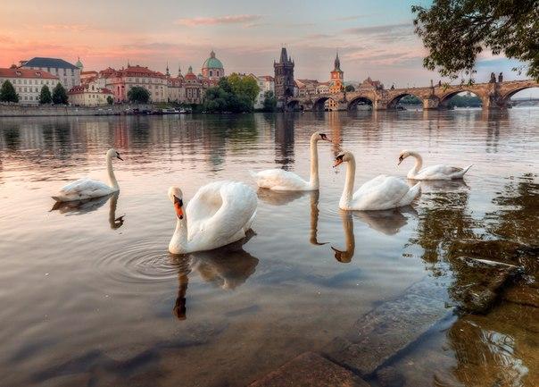 Пражские лебеди. Автор фото: Александр Атоян.