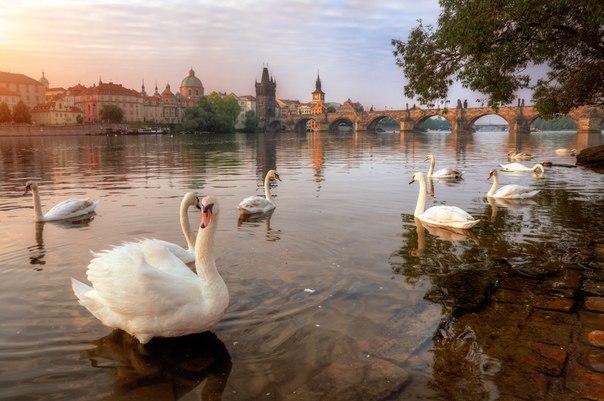 Пражские лебеди. Автор фото – Александр Атоян.