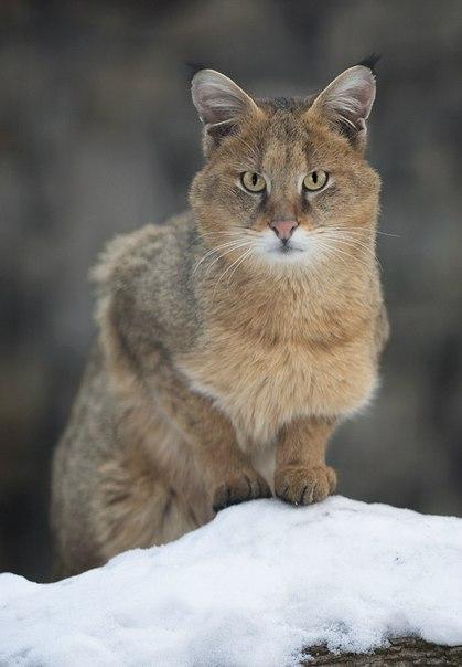Камышовый кот. Автор фото: Юрий Котюков.