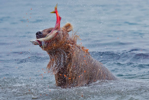 «Рыбалка удалась!». Снимок сделан на Курильском озере, Камчатка. Автор — Денис Будьков
