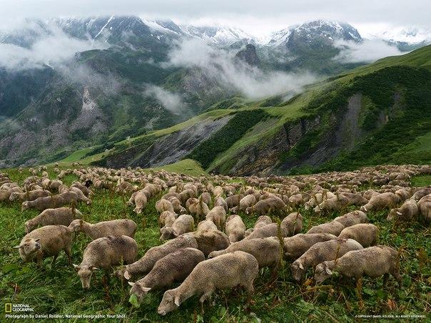 Стадо овец пасутся на изумрудном склоне Альп во Франции, недалеко от границы со Швейцарией. Автор фото: Daniel Rolider.
