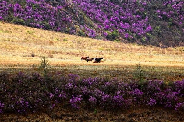 Цветение маральника, или рододендрона Ледебура, в горах Алтая. Обычно маральник зацветает в конце апреля, но прошлой весной первые цветы появились рекордно рано — 11 апреля.