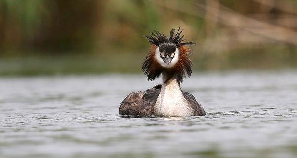 «Модная причёска». Большая поганка, или чомга. В весеннем оперении на голове у чомги вырастают два тёмных пучка перьев, похожих на «ушки», и рыжий «воротничок» вокруг шеи. Автор фото — Константин Слободчук