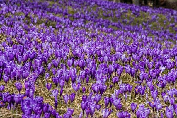 Крокусы, или шафраны, - одни из первых весенних цветов. Все фотографиями сделаны участниками нашего фотоклуба «Ценный кадр»