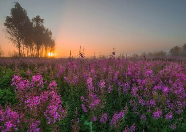 Заросли иван-чая в Рюмниково, Ярославская область. Автор фото — Андрей Грачев