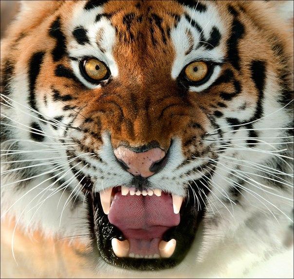 Портрет амурского тигра. Автор фото — Сергей Урядников