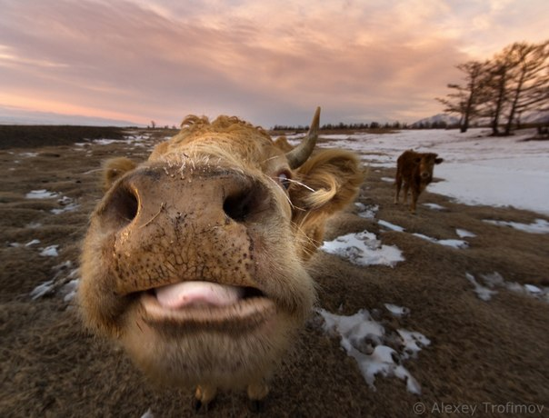 Байкальские коровы. Автор фото - Алексей Трофимов: Не забывайте, что сегодня 1 апреля — день шуток и розыгрышей!