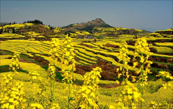 «Запах мёда». Цветущий рапс в провинции Юньнань, Китай. Автор фото — Алексей Круглов