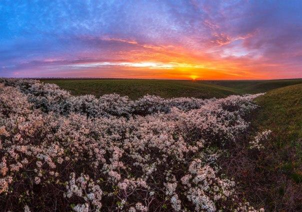 Цветущий тёрн у села Дивное, Ставропольский край. Автор фото — Фёдор Лашков