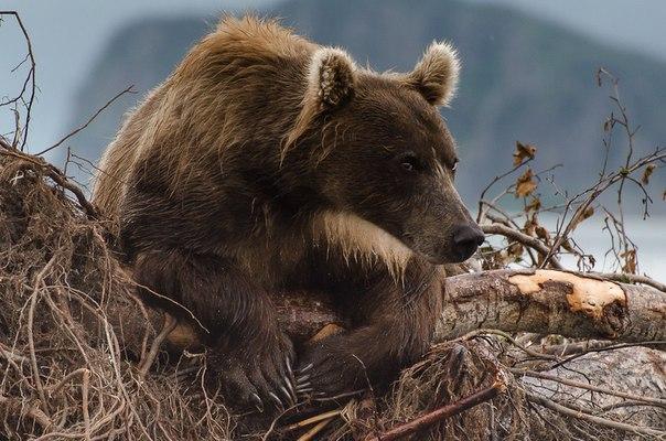 Медведь ждет лосося, облокотившись на упавшее дерево у Курильского озера, Камчатка. Автор фото — Максим Ушаков