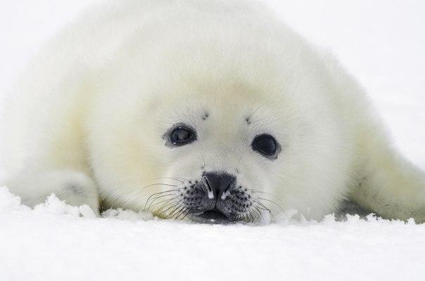 Белёк, детеныш гренландского тюленя, на льду Белого моря. Автор фото — Kamelopardalis, участник фотоконкурса «Дикая природа России — 2015»