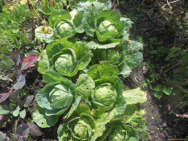 Практические советы по выращиванию капусты...