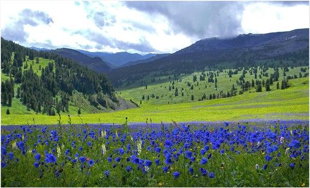 Поляны цветущего водосбора в верховьях реки Тогусколь, Алтай. Автор фото: Андрей Андреев.