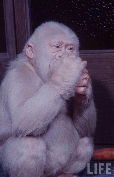 Снежок — единственная известная в истории зоологических наблюдений горилла-альбинос, 1972 год.