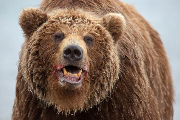 Камчатские медведи в объективе Дениса Будькова. Рекомендуем посмотреть другие работы автора в нашем фотоклубе «Ценный кадр»