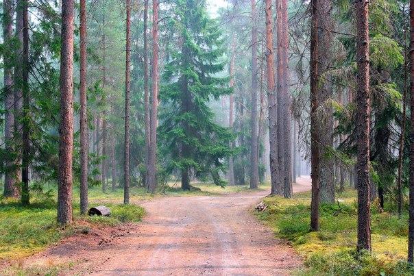 Сосновый лес у деревни Неприе, Тверская область. Автор фото — Игорь Сокальский