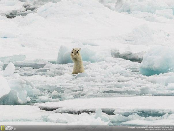«Дай пять». Медвежонок на «прогулке» среди льдин Шпицбергена, Норвегия. Автор фото: Colin Mackenzie.