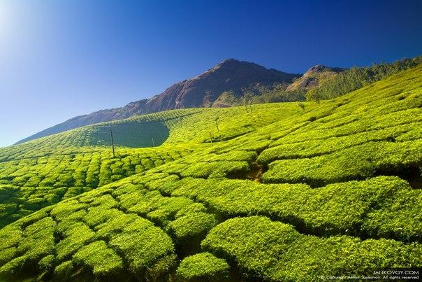«Чайный рай». Чайная плантация в индийском штате Керала. Автор фото — Антон Янковой