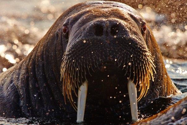 «Портрет моржа». Снимок сделан на Шпицбергене, Норвегия. Автор фото — Вадим Балакин