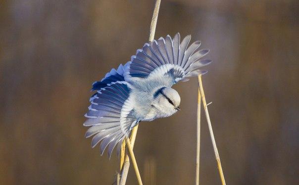 «Гжель». Белая лазоревка, или князёк, — редкая птичка из семейства синицевых. Автор фото — Татьяна Смирнова