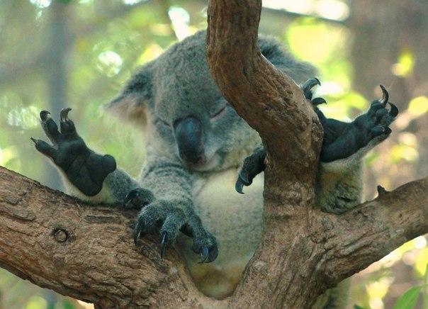 «Соня». Спящая коала в зоопарке Чиангмай, Таиланд. Автор фото — Наталья Пожилова
