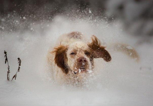 «Снежная пыль». Английский сеттер на прогулке. Автор фото — Александр Чибиркин