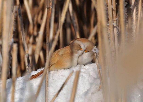 «Любовь согреет». Усатые синицы. Автор фото — Ирина Варгич