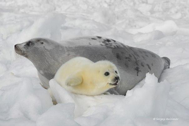 Белёк, детеныш гренландского тюленя, радуется жизни под защитой мамы. Автор фото — Сергей Анисимов