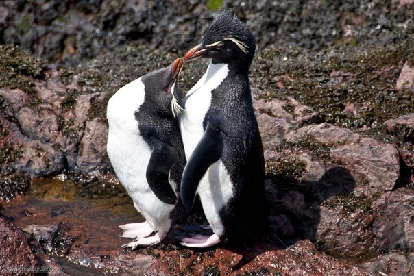 Хохлатые пингвины в Пуэрто-Десеадо, Аргентина. Автор фото: Сергей Столяревский. Придумайте название для этой фотографии!