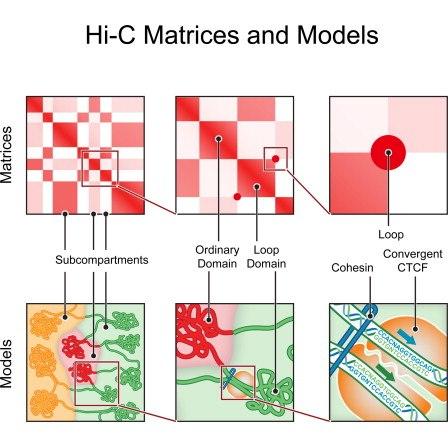 """Принцип составления карты структуры хроматина: квадратами показаны разные петлевые домены. Вверху матрицы взаимодействия, внизу - """"перевод"""" этих данных в трехмерную модель."""