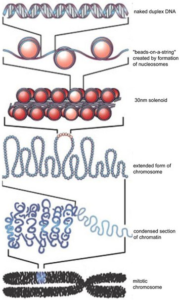 Структура интерфазных, - нерабочих - хромосом