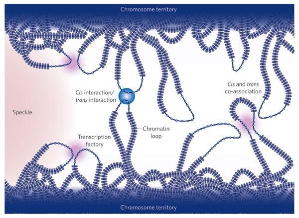 Взаимодействие петель в хроматине