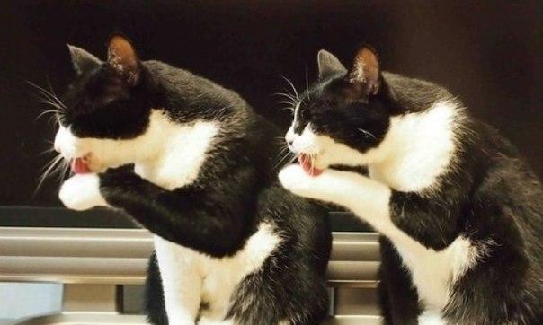 Синхронные коты — это какой-то кошачий заговор! ↪
