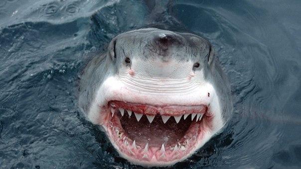 Акула-бык. Достигает 4 метров в длину