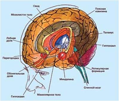 Лекция по анатомии ЦНС