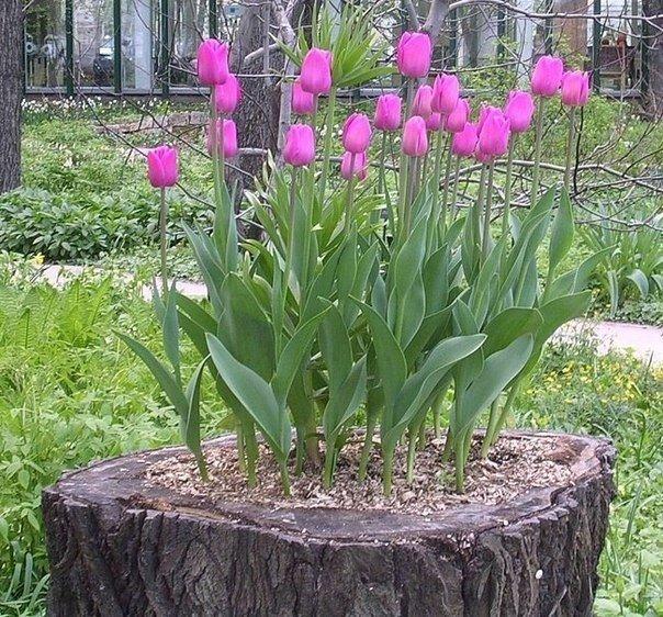 Клумбы на даче из тюльпанов своими руками