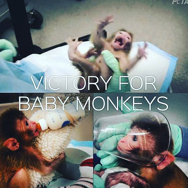The #nih just announced that they will stop experimenting on baby monkeys. Which...