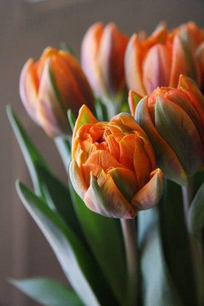 Тюльпаны. Посадка и уход. Заболевания, методы борьбы
