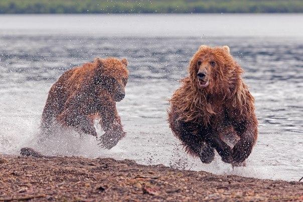 «Медвежьи скачки». Курильское озеро, Камчатка. Автор фото — Денис Будьков