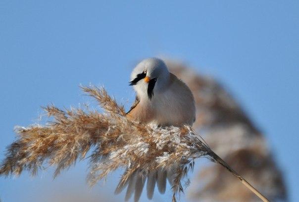 Чтобы сфотографировать усатую синицу, не требуется никаких ухищрений. Это очень доверчивые птицы, которые близко подпускают к себе человека. Автор фото — Ирина Варгич