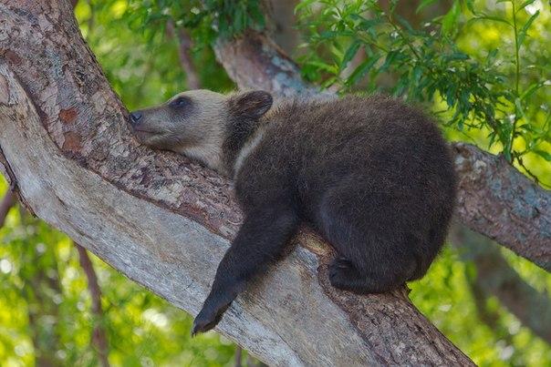 «Расслабился». Лазанье по деревьям утомило камчатского медвежонка. Автор фото - Денис Будьков: Хороших выходных!