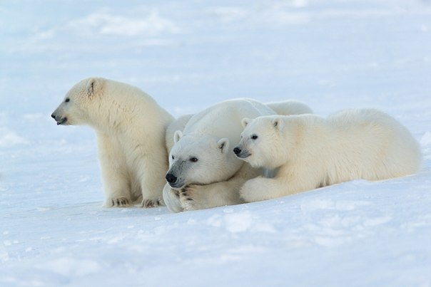 Белые медведи в объективе Максима Деминова