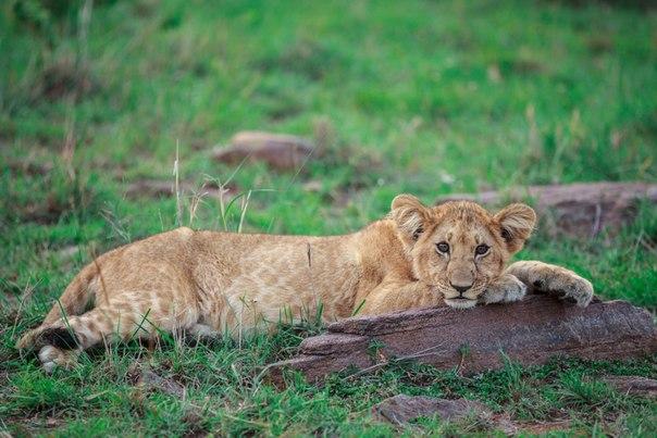 Львёнок из заповедника Масаи-Мара, Кения. Автор фото — Соня Руденко: Доброй ночи!
