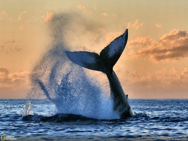 Горбатый кит у побережья гавайского острова Мауи. Автор фото: Susan Metz.