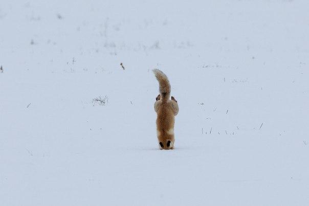 Определив местоположение мыши под снегом, лисица подпрыгивает и «ныряет» в сугроб — такой способ охоты называется мышкованием. Автор фото: Радик Кутушев.