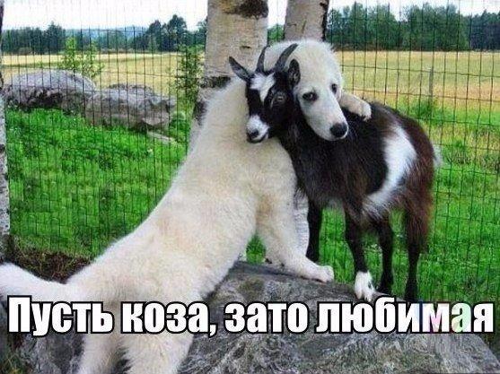 Любовь зла, полюбишь и ...козу.